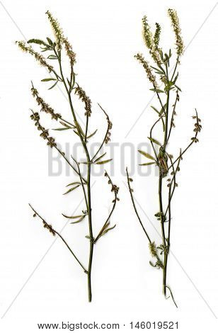 Dried branch with white flowers and green leaves of clover