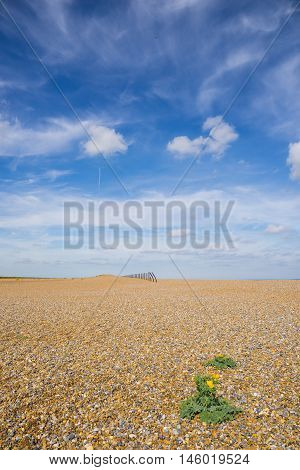 Shingle beach with single plant with yellow flower in foreground and rusting sea defences on horizon against azure blue summer sky with wispy clouds