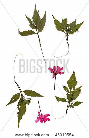 Dried pink geranium flowers and green leaves of bur-marigold