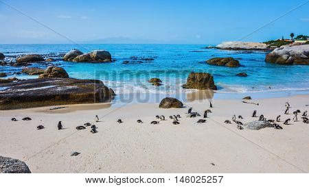 The concept of  ecotourism. African black-and-white penguins. The sandy beach on the Atlantic coast of Africa.  Boulders Penguin Colony in the Table Mountain National Park