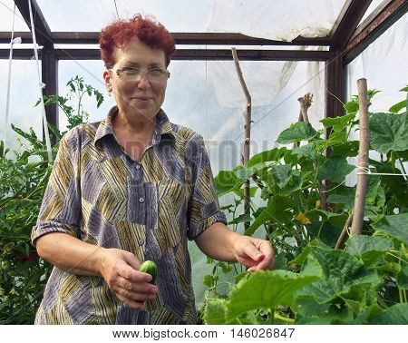 Elderly woman with crop of cucumbers in the greenhouse is