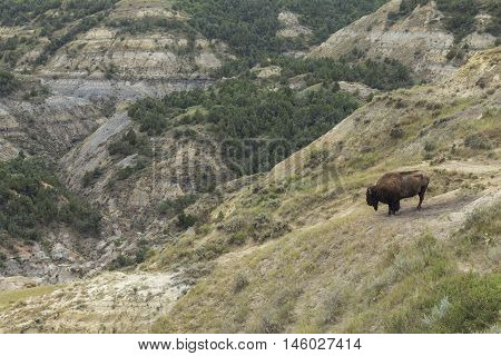 A wild buffalo in a badlands landscape.