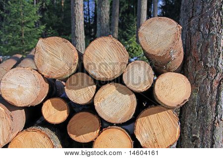 Wooden Logs Stacked By Pine Tree