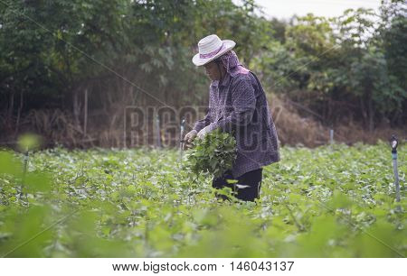 Prachuapkhirikhan Thailand - July 12 2016: Thai local farmer harvesting a sweet potato(yams) in a field Prachuapkhirikhan Province Thailand ,filtered image,selective focus
