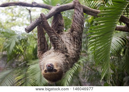 Young Hoffmann's two-toed sloth (Choloepus hoffmanni) show tounge