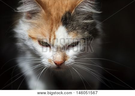 beautiful menacing cat goes forward on black background
