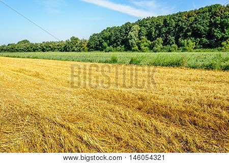 Rural landscape with a yellow wheat stubble field in the foreground next to large green field with onion cultivation. In the back ground the tall trees of a nature reserve.