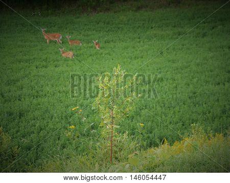 Whitetail deer triplets in a green field
