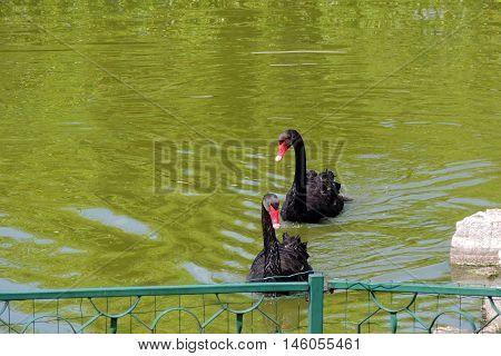 Black Swan On A Pond