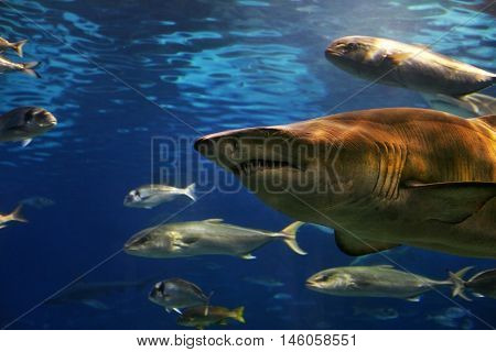 A grey shark swimming underwater. Sunbeams are shining down through the water