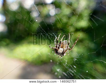 Garden spider in cobweb with blurred background