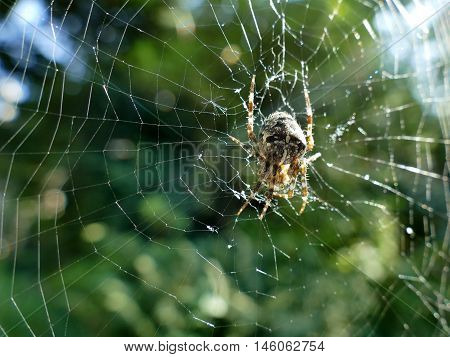 Garden spider in cobweb with sun flares in blurred background