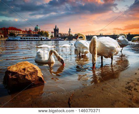 Swan In Prague.