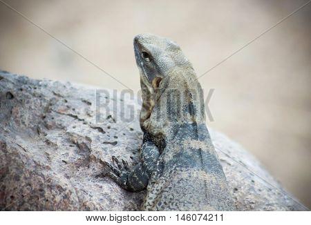 A Spinytail Iguana Ctenosaura macrolopha aka Sonora Black Iguana