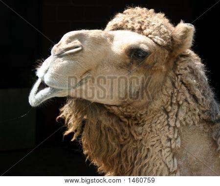Camel Singing