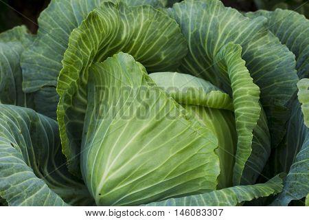 Fresh Cabbage Harvest