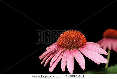Echinacea flowers on a dark background closeup