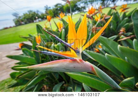 Bird Of Paradise Flower, Strelitzia