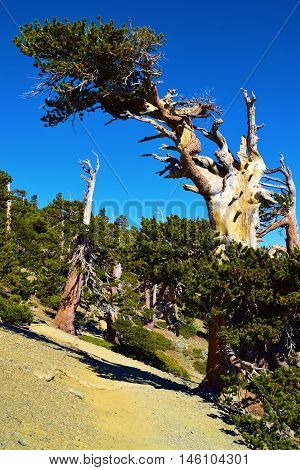 Pine Tree which has been weathered by wind taken in Mt Baldy, CA