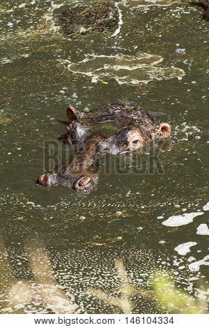 Hippopotamus enjoying bathing in water during the hot day in Masai Mara Kenya. Vertical shot