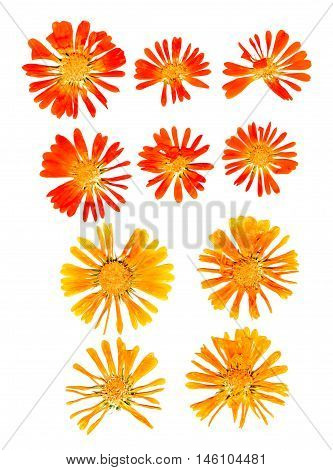 pressed delicate yellow orange red calendula flowers and petals