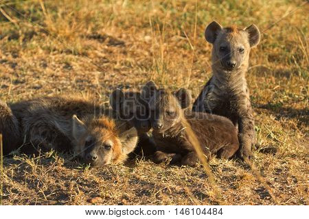 Babies spotted hyena cubs just come out from their hole early in the morning sleeping on over another Masai Mara