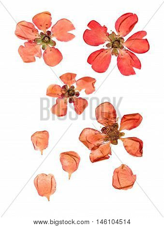 Pressed and dry large pale red flowers and petal set of quince. Blossom of japonica chaenomles isolated