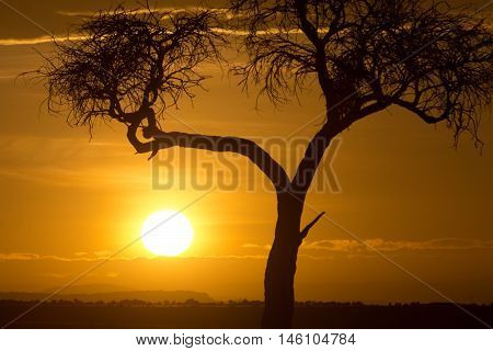 Typical african sunset with acacia tree in Masai Mara Kenya. Horizontal shot