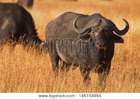 Male buffalo with oxpecker on its nose. Shot at sunset in Masai Mara Kenya.