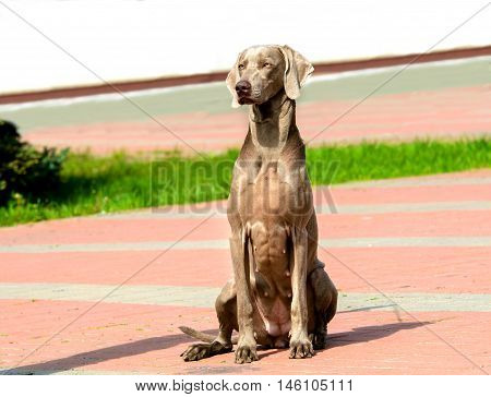 Weimaraner full face. The Weimaraner is in the city park.