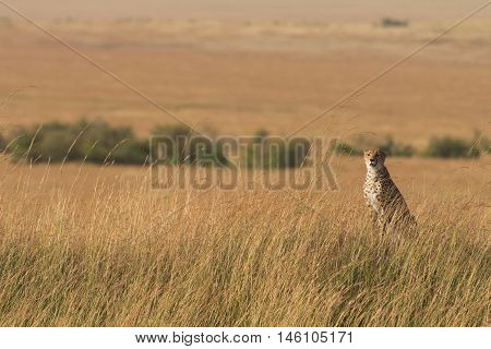 Male cheetah walking in grass and looking for its pray in Masai Mara Kenya