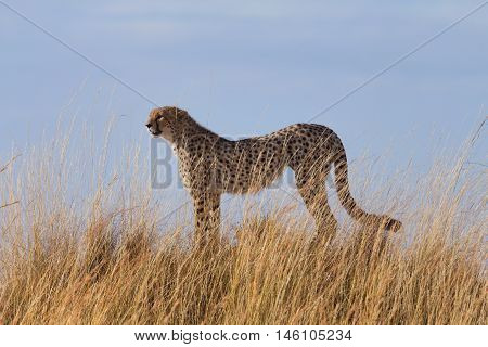 Male cheetah in high grass of Masai Mara Kenya.