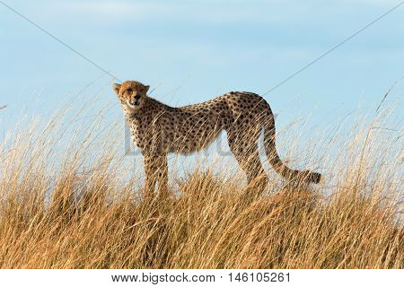 Portrait of male cheetah walking in grass and looking for its pray in Masai Mara Kenya