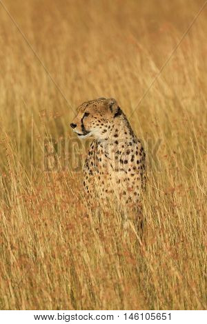 Male cheetah walking in grass and looking for its pray in Masai Mara Kenya. Vertical portrait looking away
