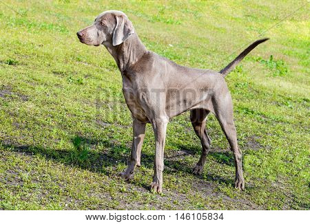 Weimaraner looks.  The Weimaraner is in the city park.