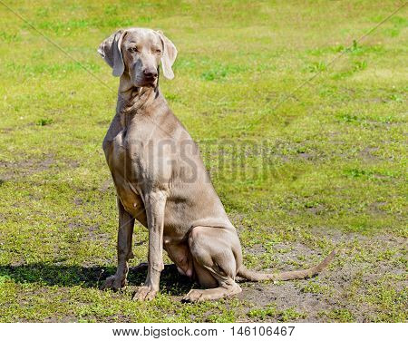 Weimaraner waits.  The Weimaraner is in the city park.