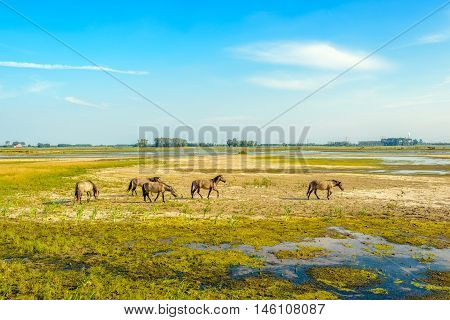 Group of wild Konik horses grazing in a swampy nature reserve on a sunny day in the summer season. The marsh area in a Dutch polder is gradually drying up.