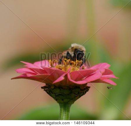 Bee sucking the nectar from a flower