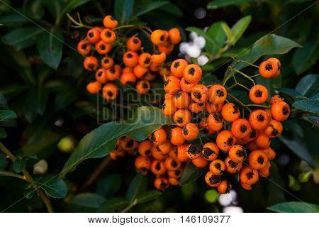 Bright Orange Berries Green Bush Plant Macro