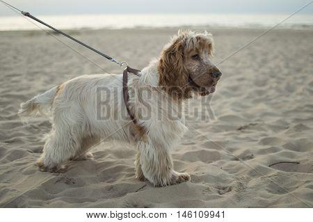 dog, puppy, english cocker spaniel, pet, beach, sea