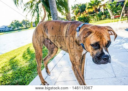 boxer dog view from the front in tropical setting