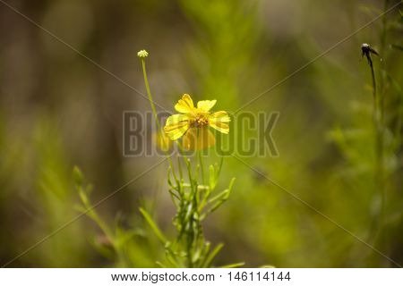 A yellow wildflower just after morning sunrise.