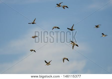 Flock of Wilson's Snipe Flying in a Cloudy Blue Sky