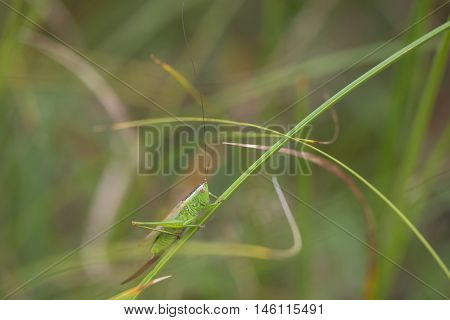 Long-winged Conehead (Conocephalus discolor) female resting on a Grass-Stalk