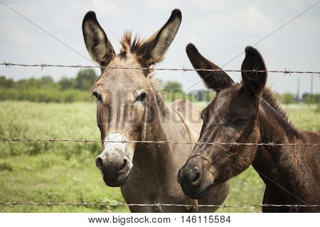 A donkey duo peer through a barbed wire fence.