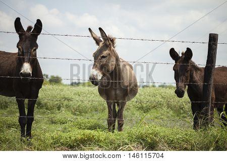 A trio of donkeys await treats behind a fence.