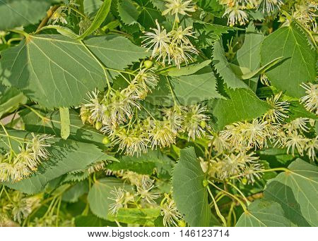 Linden Flower Background