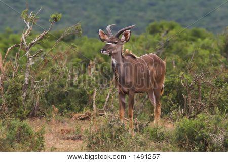 Juvenile Kudu Male