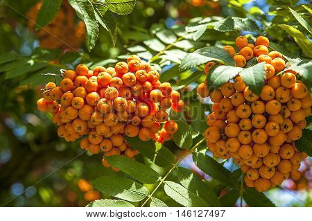 Close up image of a cluster of berries on a Mountain Ash tree.