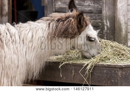 Close up of a llama eating a pile of hay.